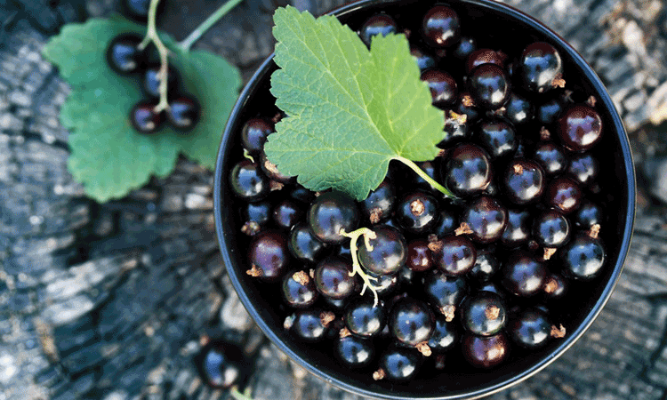 New Zealand ViBERI Organic Blackcurrants
